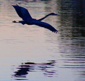 Great Blue Heron flies over lake at sunset