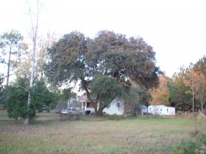 country house behind large oak tree from road